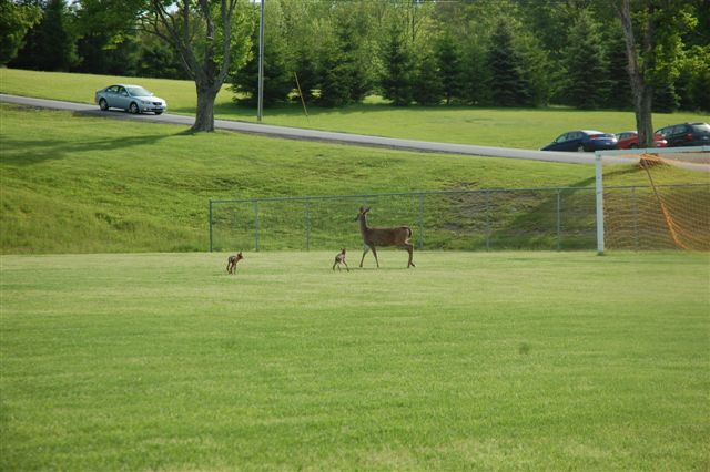 Doe and two fawns on Soccer Field at the Family Foundation School Hancock NY