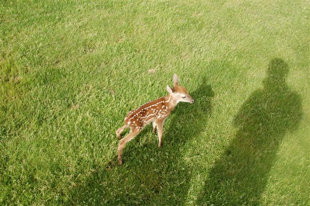 A fawn – up close showing his spots in the morning sun.